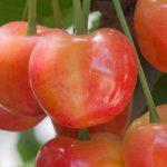 IFG – International Fruit Genetics Company Combate Violação da Propriedade Intelectual