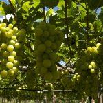Brasil terá primeira Indicação Geográfica de vinhos tropicais do mundo